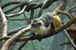 Wolf's mona monkey (Cercopithecus wolfi) Royalty Free Stock Photo