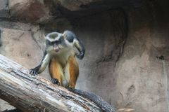 Wolf's Monkey. Small colorful monkey Stock Images