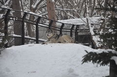 Wolf in Sapporo zoo snow Royalty Free Stock Photos