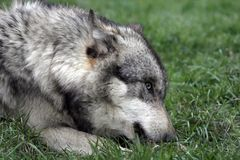 Wolf seating on grass Royalty Free Stock Photography