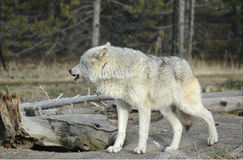 Wolf Senses Danger Photo libre de droits