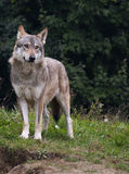 Wolf of serbia. The wolf (Canis lupus) is the largest species among the representatives of the genus Canis, body size varies widely, depending on the region royalty free stock photos