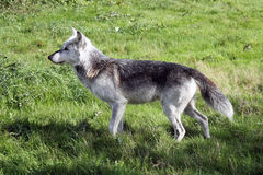 Wolf side profile landscape Royalty Free Stock Photos