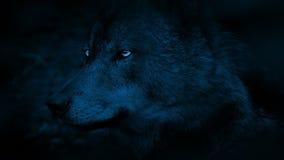Wolf Side View With Bright-Augen in der Dunkelheit