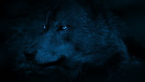 Wolf Side View With Bright Eyes In The Dark. Profile shot of wolf in the dark forest with bright shining eyes stock video footage