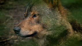 Wolf Side View In Forest stock video footage