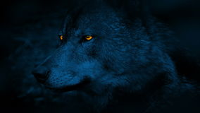 Wolf Side View With Glowing osserva alla notte archivi video