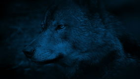 Wolf Side View At Night almacen de video