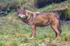 Wolf sideview in a forest Stock Image