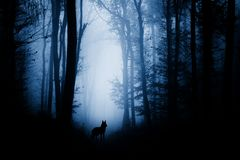 Wolf in haunted forest with fog. Wolf silhouette in haunted forest with fog. Mysterious haunted Halloween woods with wolf silhouette royalty free stock images