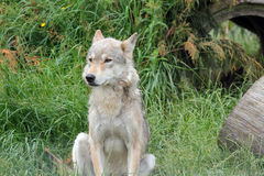 A wolf sitting on the grass. Stock Photo