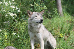 Wolf sitting in nature Stock Image