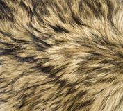 Wolf Skin. Close up of wolf skin with fur royalty free stock photography