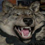 Wolf skin Stock Image