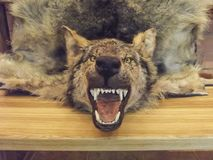 Wolf skin, stuffed wolf hanging on the bench of the hunter`s castle. Belarus royalty free stock photos
