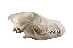 Wolf skull with big fangs in closed mouth isolated on white background. Skull of wild grey wolf lateral view isolated on a white background. Closed mouth. Focus stock photography