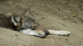 Wolf sleeping Royalty Free Stock Photo