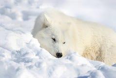 Wolf sleeping Stock Image