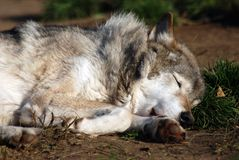 Wolf sleeping face close-up. In the zoo on the ground green grass Royalty Free Stock Image