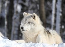 Wolf sleeping in snow Royalty Free Stock Photo