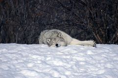 Wolf sleeping in the snow Royalty Free Stock Photography