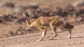 Wolf Slinking etíope foto de archivo