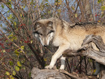 Wolf Slinks on Tree Trunk Stock Photography