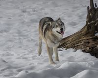 Wolf playing in the snow. Wolf smiling for the camera This photo was created in February 2018 in Montana ,USA stock photos