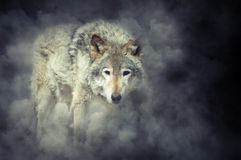 Wolf in smoke. Wild grey wolf in smoke on dark background Royalty Free Stock Photos