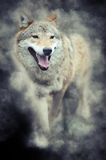 Wolf in smoke Stock Photography