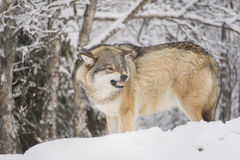 Wolf snarling Royalty Free Stock Images