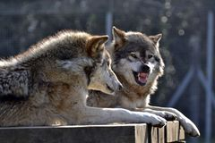 Wolf. Snarling pair teeth grimace fangs cross danger royalty free stock image