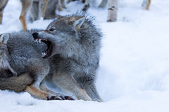 Wolf. Snarling in polar park in Troms, Norway Stock Photos