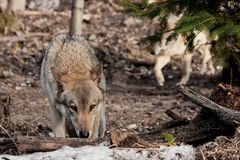The wolf sniffs traces with his head down, the she-wolf follows on the hunt. gray wolf in the woods in early spring. Wildlife of Russia royalty free stock photo
