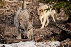 The wolf sniffs traces with his head down, the she-wolf follows on the hunt. gray wolf in the woods in early spring. Wildlife of Russia stock images