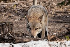 The wolf sniffs traces with his head down, the wolf tracks down. gray wolf in the woods in early spring. Wildlife of Russia stock image