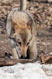 The wolf sniffs traces with his head down, the wolf tracks down. gray wolf in the woods in early spring. Wildlife of Russia royalty free stock photography