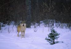 Wolf in Snow Royalty Free Stock Image