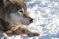 Wolf On The Snow Stock Images
