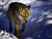 Wolf in the snow Stock Photography