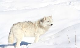 Wolf in snow Stock Photography
