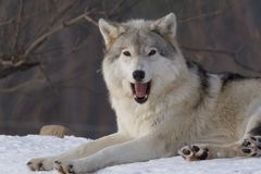 Wolf on snow. Wolf in winter near Montreal Stock Image