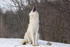 Wolf on snow. Wolf in winter near Montreal Royalty Free Stock Photos