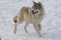 Wolf on snow. Wolf in winter near Montreal Royalty Free Stock Photo