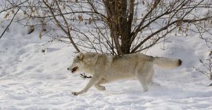 Wolf on snow. Wolf in winter near Montreal Stock Images