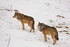 Wolf in the snow Royalty Free Stock Photography