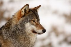 Wolf in the snow Stock Photos