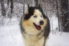 Wolf in snow-covered forest Stock Photography