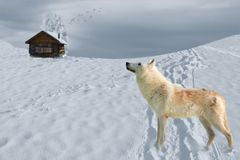 Wolf in snow field stock photos