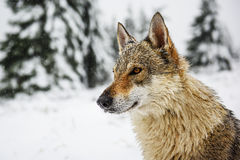 Wolf in the snow Stock Images